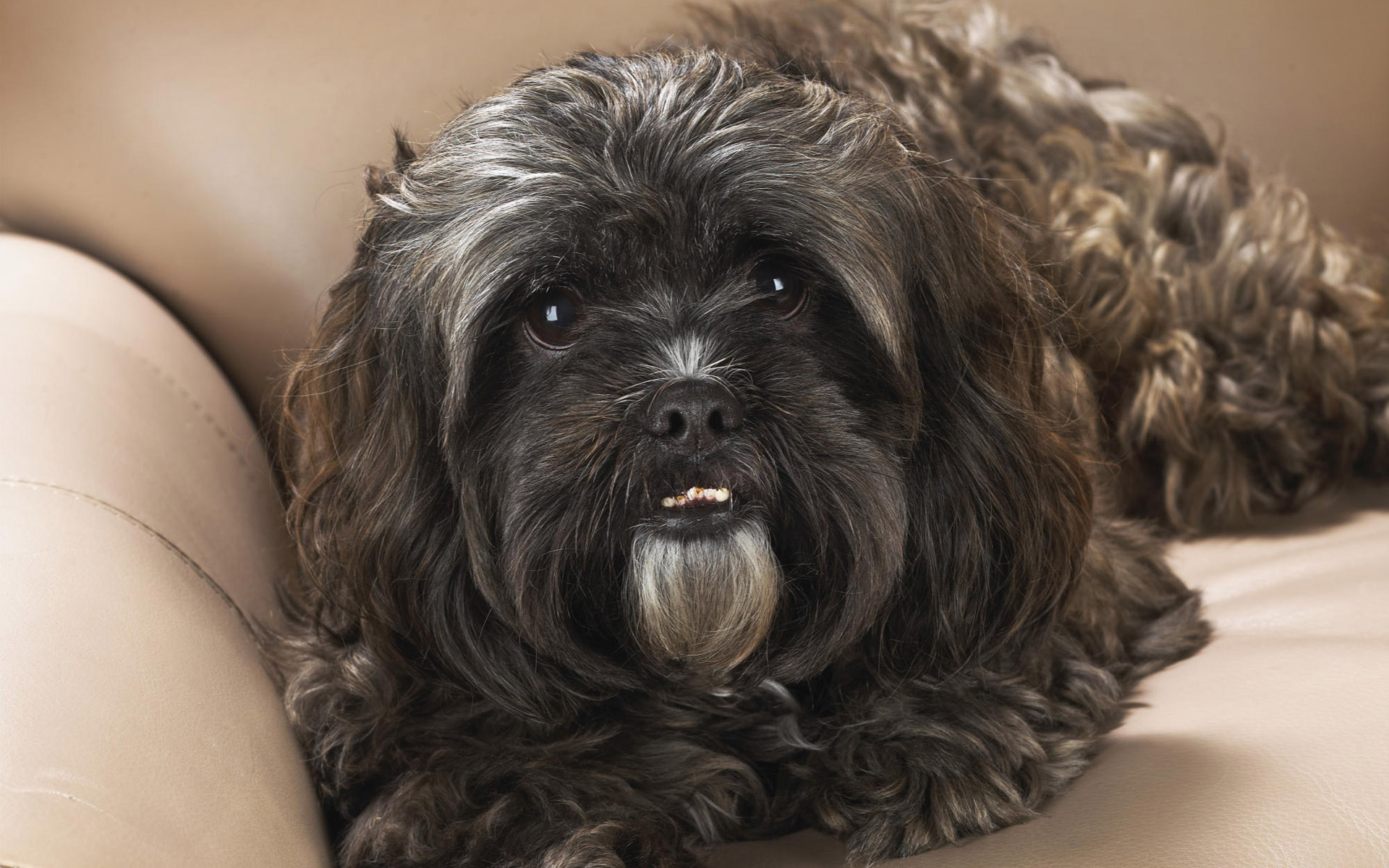 Animals 1920x1200 057 Pies, Shih Tzu