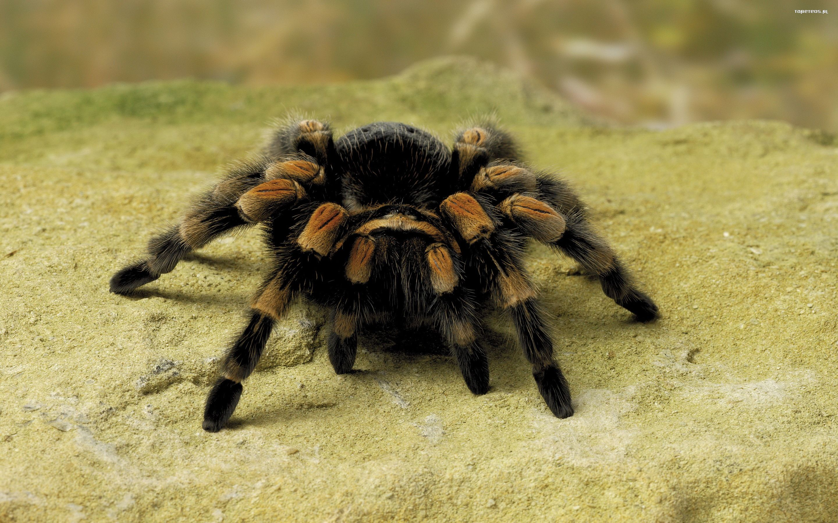 Zwierzeta 2880x1800 098 pajak tapety na pulpit - Spider hd images download ...