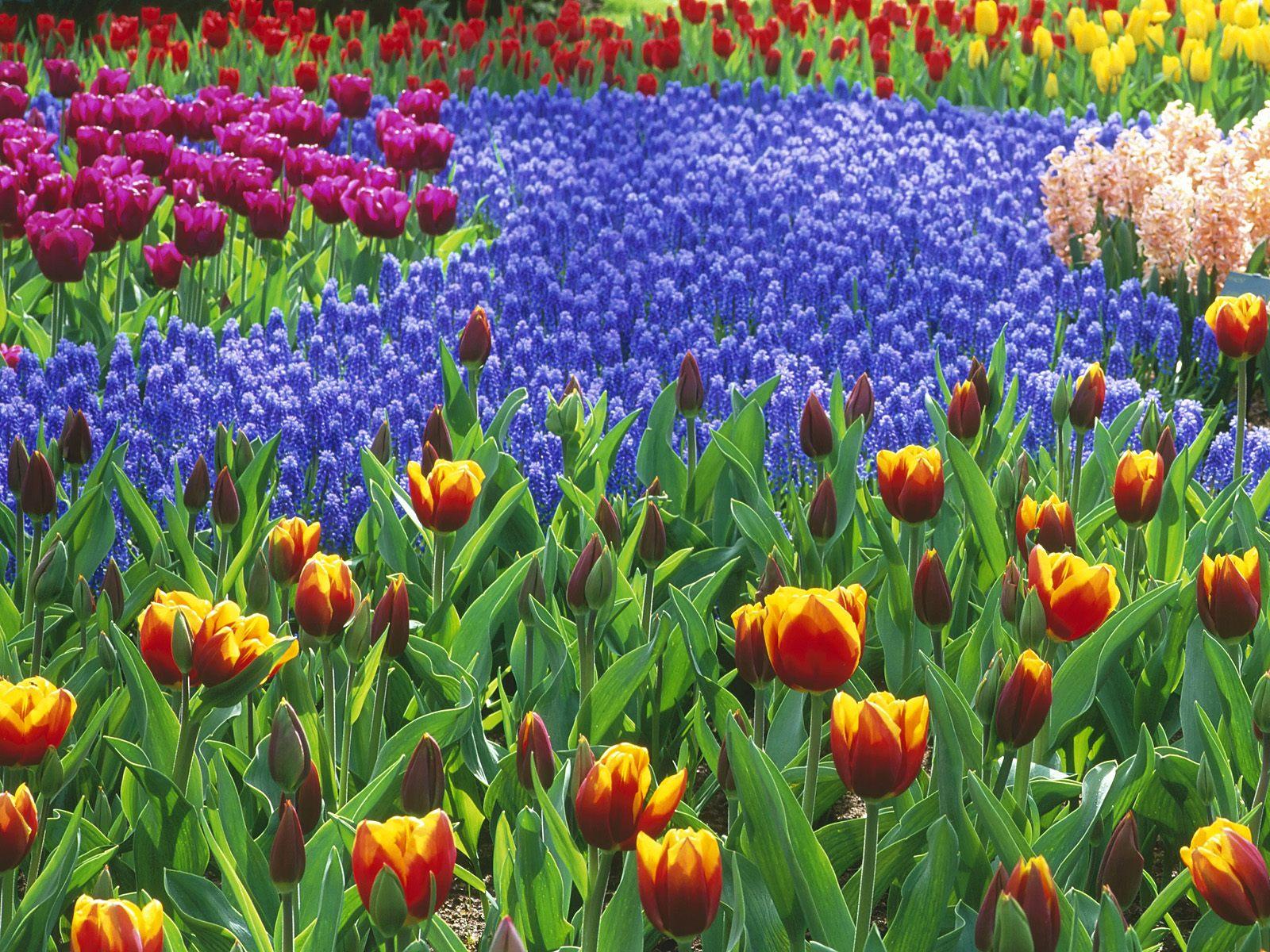 Keukenhof Gardens Lisse Holland Tapety na pulpit