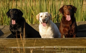 Animals 1920x1200 045 Psy, Labrador retriever