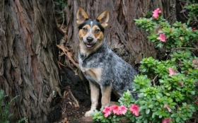 Animals 1920x1200 050 Pies, Australian Cattle Dog