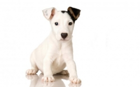 Animals 1920x1200 078 Pies, Jack Russell Terrier