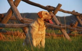 Animals 1920x1200 080 Pies, Labrador Retriever