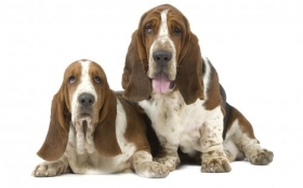 Animals 1920x1200 090 Psy, Basset