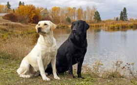 Animals 1920x1200 118 Psy, Labrador Retriever