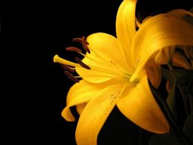 00700 yellowlilly 1600x1200