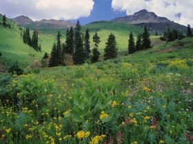 Alpine Meadow of Sneezeweed