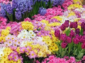 Chrysanthemum and Tulip Garden