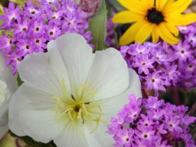 Evening Primrose and Sand Verbena