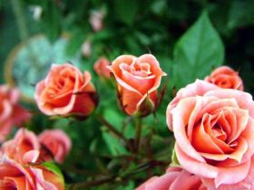 marry-me-patio-rose