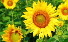 Sunflower 2560x1600 003