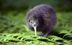 Animals 1920x1200 123 ptak kiwi