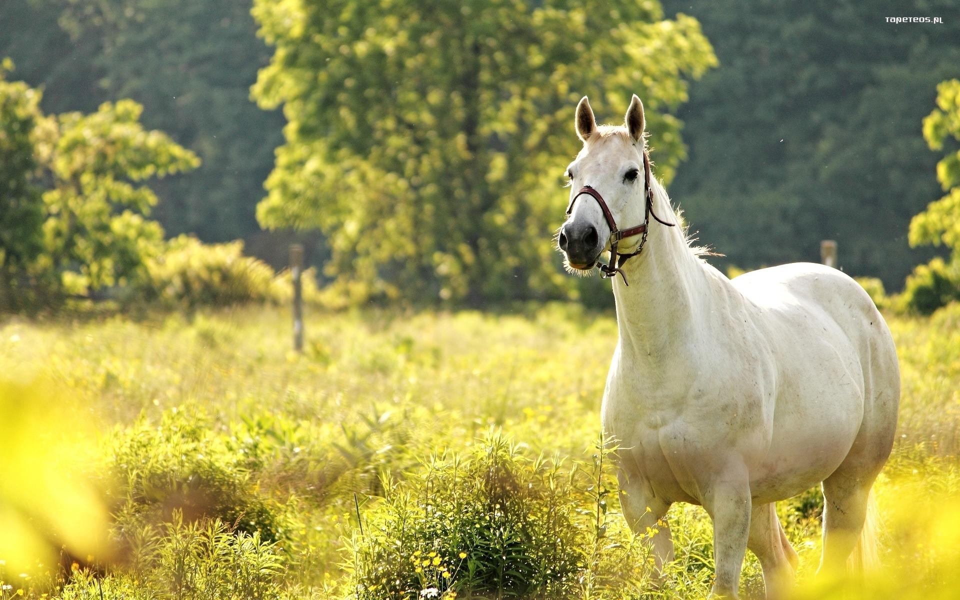 Белая лошадь скачать