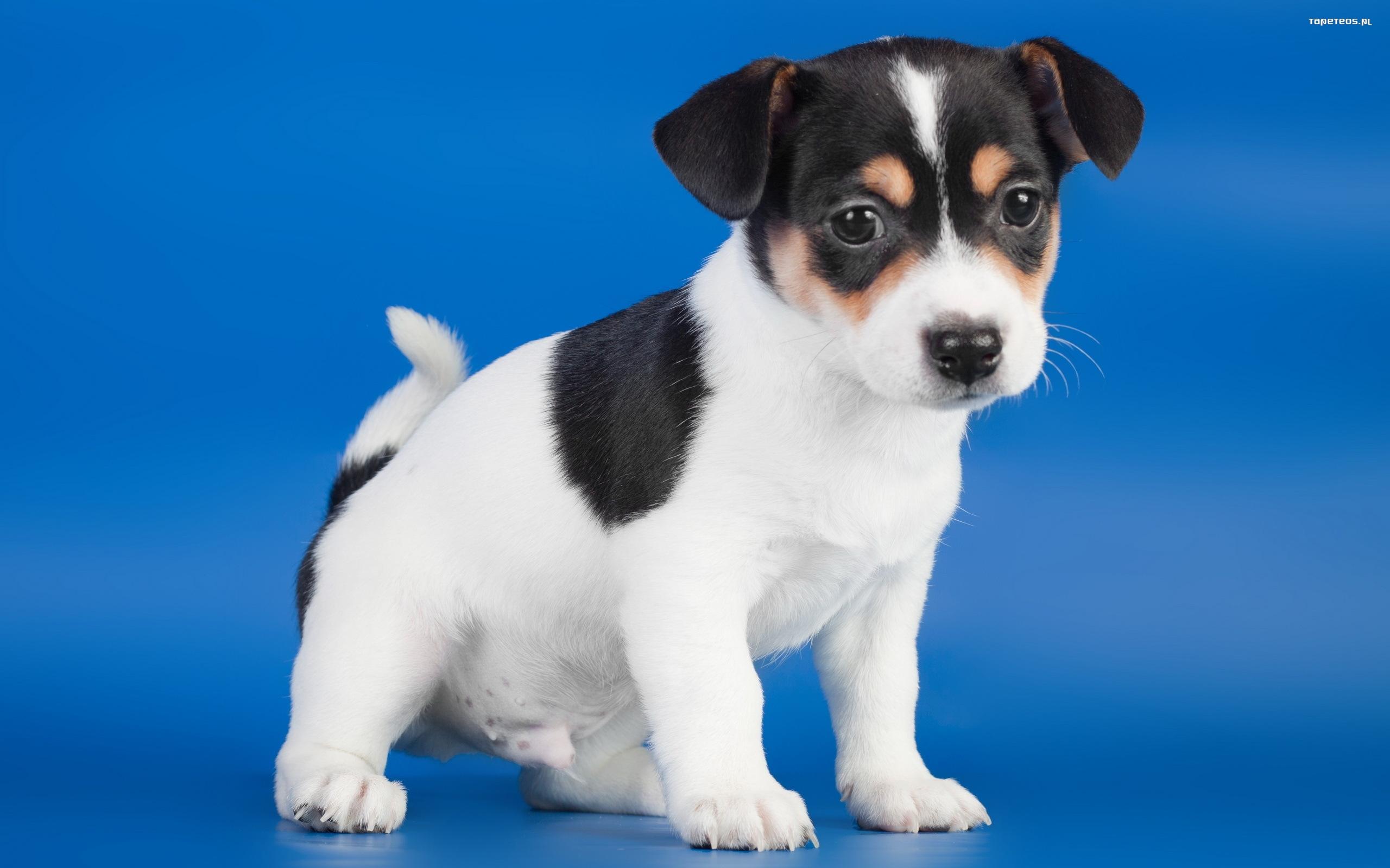 Unikalne Jack Russell Terrier 060 Psy, Zwierzeta, Szczeniak - Tapety na pulpit OM03