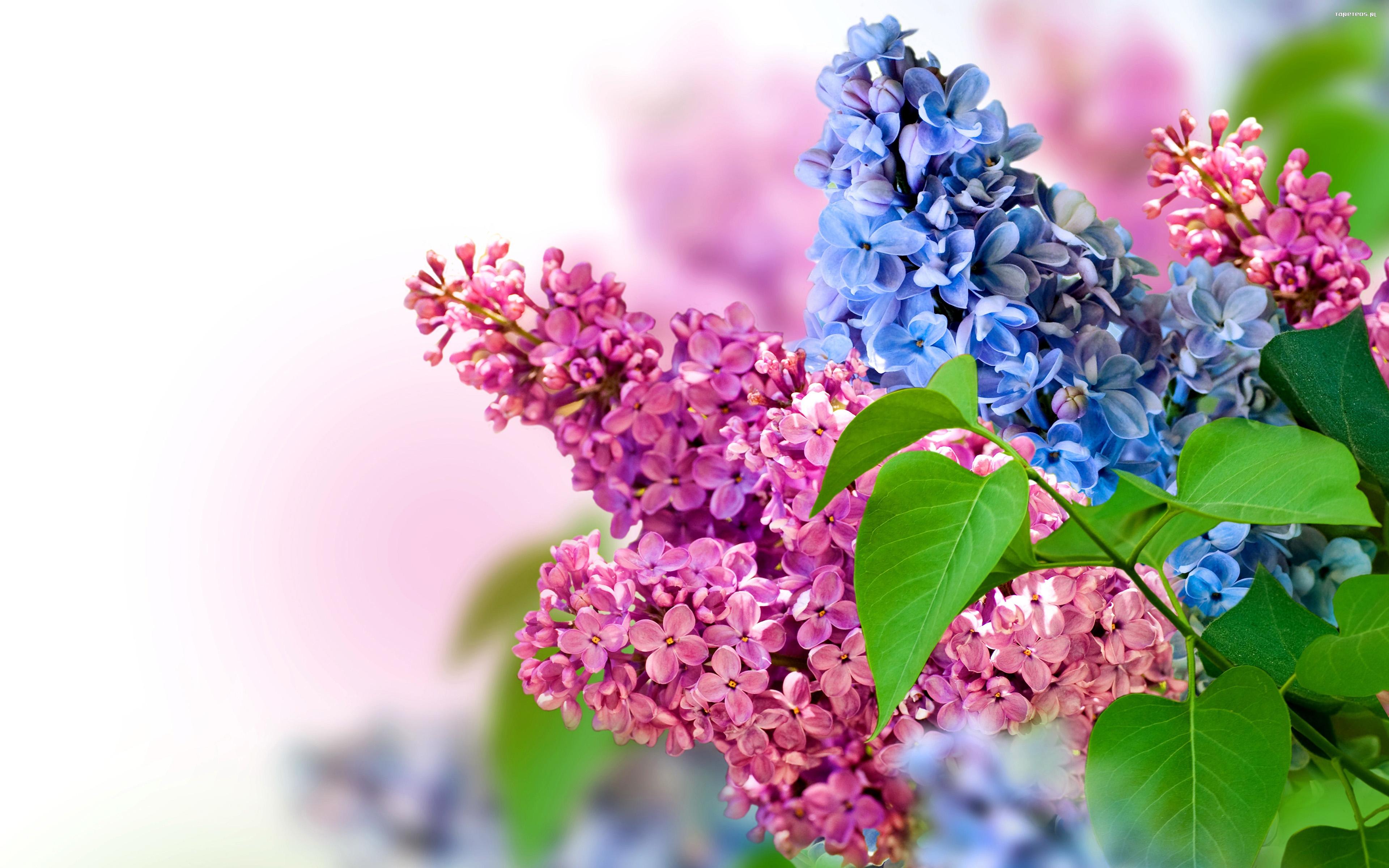 Bez 010 Wiosna Kwiaty Tapety Na Pulpit