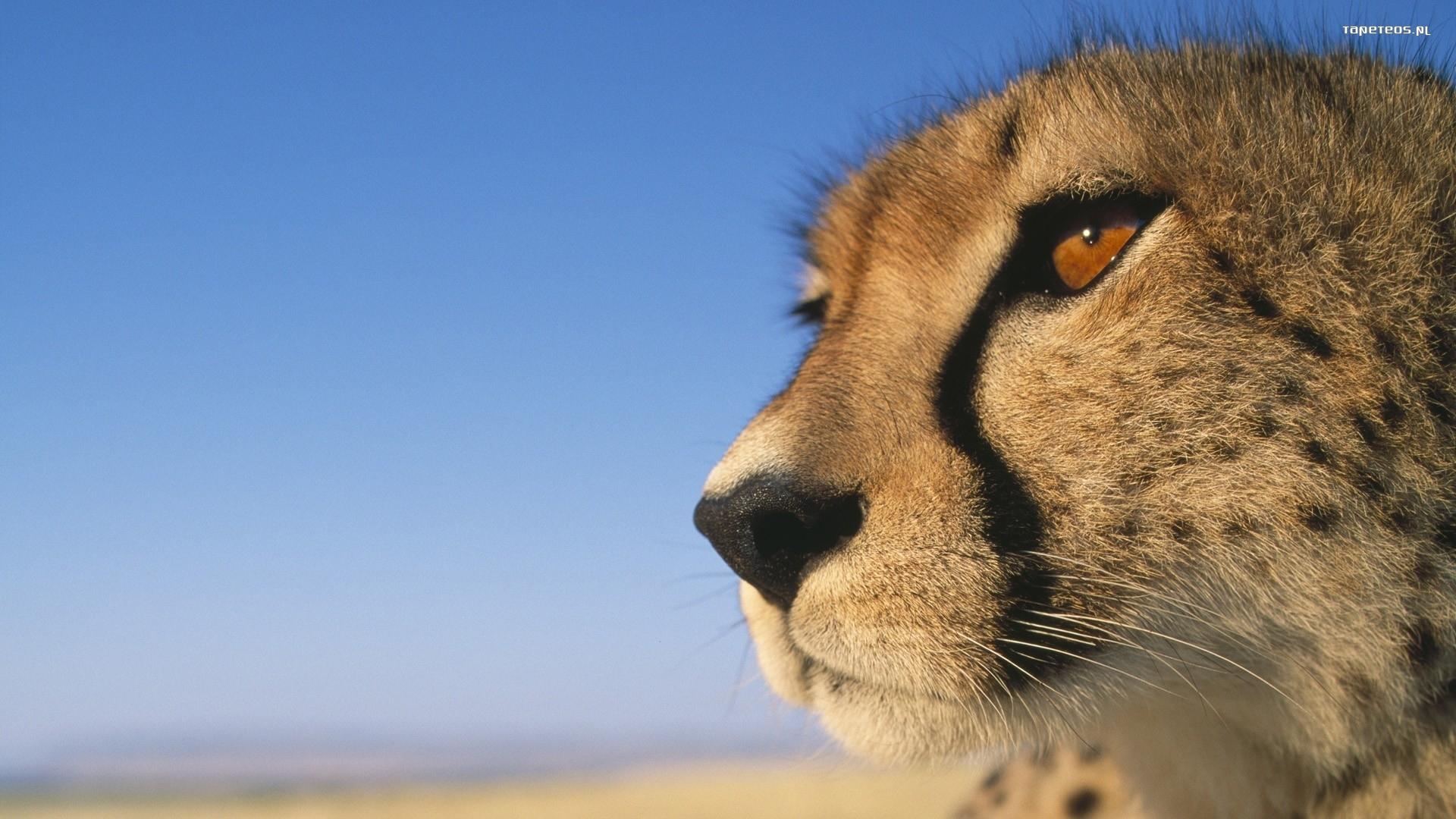 природа животные гепарды загрузить
